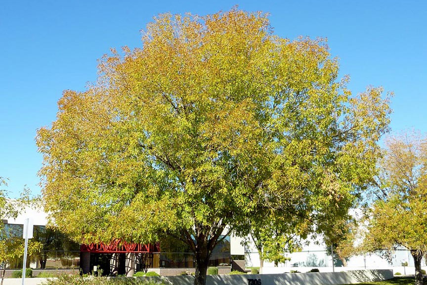 shamel ash tree turning color