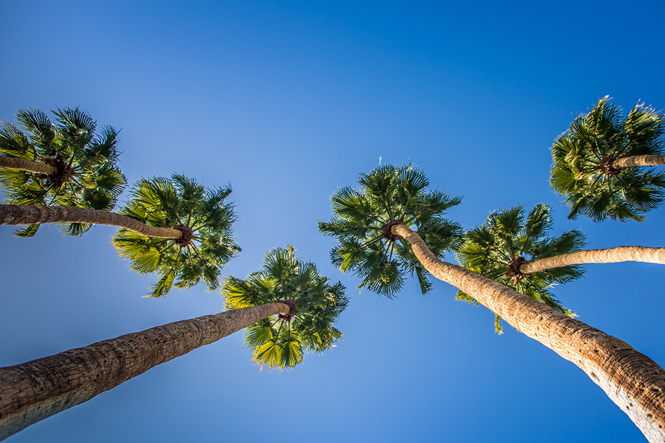 fan palms against blue sky